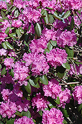 P.J.M. Rhododendron (Rhododendron 'P.J.M.') at Stauffers Of Kissel Hill
