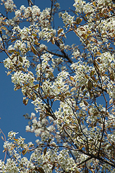 Princess Diana Serviceberry (Amelanchier x grandiflora 'Princess Diana') at Stauffers Of Kissel Hill