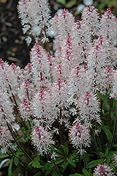 Spring Symphony Foamflower (Tiarella 'Spring Symphony') at Stauffers Of Kissel Hill