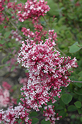 Tinkerbelle Lilac (Syringa 'Tinkerbelle') at Stauffers Of Kissel Hill
