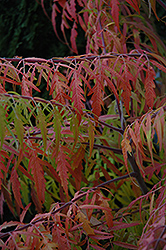 Tiger Eyes® Sumac (Rhus typhina 'Bailtiger') at Stauffers Of Kissel Hill