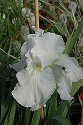 Immortality Iris (Iris 'Immortality') at Stauffers Of Kissel Hill