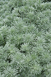 Silver Mound Artemesia (Artemisia schmidtiana 'Silver Mound') at Stauffers Of Kissel Hill
