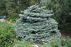 Montgomery Blue Spruce (Picea pungens 'Montgomery') at Stauffers Of Kissel Hill