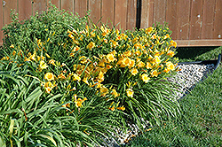 Stella de Oro Daylily (Hemerocallis 'Stella de Oro') at Stauffers Of Kissel Hill
