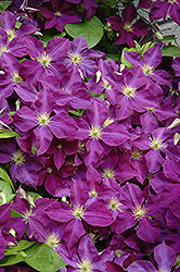 Jackmanii Superba Clematis (Clematis x jackmanii 'Superba') at Stauffers Of Kissel Hill