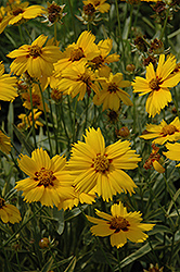 Tequila Sunrise Tickseed (Coreopsis 'Tequila Sunrise') at Stauffers Of Kissel Hill
