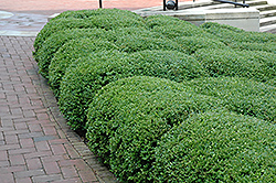 Chicagoland Green Boxwood (Buxus 'Glencoe') at Stauffers Of Kissel Hill