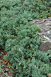 Blue Rug Juniper (Juniperus horizontalis 'Wiltonii') at Stauffers Of Kissel Hill