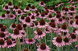 Pixie Meadowbrite Coneflower (Echinacea 'Pixie Meadowbrite') at Stauffers Of Kissel Hill