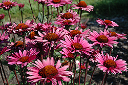 Fatal Attraction Coneflower (Echinacea purpurea 'Fatal Attraction') at Stauffers Of Kissel Hill