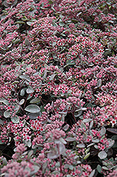 Vera Jameson Stonecrop (Sedum 'Vera Jameson') at Stauffers Of Kissel Hill