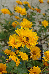 Bressingham Doubloon Sunflower (Heliopsis helianthoides 'Bressingham Doubloon') at Stauffers Of Kissel Hill