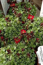 Dark Red Saxifrage (Saxifraga x arendsii 'Dark Red') at Stauffers Of Kissel Hill