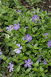 Common Periwinkle (Vinca minor) at Stauffers Of Kissel Hill