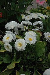 Bellisima White English Daisy (Bellis perennis 'Bellissima White') at Stauffers Of Kissel Hill