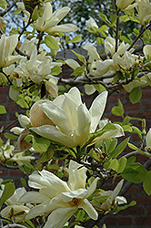 Elizabeth Magnolia (Magnolia 'Elizabeth') at Stauffers Of Kissel Hill