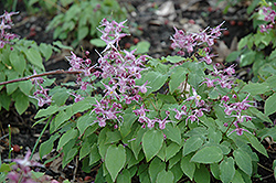 Lilafee Bishop's Hat (Epimedium grandiflorum 'Lilafee') at Stauffers Of Kissel Hill