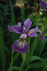 Blue Flag Iris (Iris versicolor) at Stauffers Of Kissel Hill