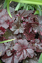 Midnight Rose Coral Bells (Heuchera 'Midnight Rose') at Stauffers Of Kissel Hill