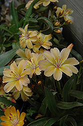 Little Peach Bitteroot (Lewisia 'Little Peach') at Stauffers Of Kissel Hill