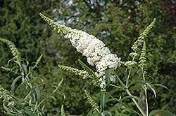 White Profusion Butterfly Bush (Buddleia davidii 'White Profusion') at Stauffers Of Kissel Hill