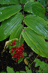 False Solomon's Seal (Smilacina racemosa) at Stauffers Of Kissel Hill
