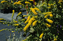 Golden Fleece Goldenrod (Solidago sphacelata 'Golden Fleece') at Stauffers Of Kissel Hill