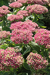 Hot Stuff Stonecrop (Sedum spectabile 'Hot Stuff') at Stauffers Of Kissel Hill