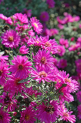 Alert Aster (Aster novi-belgii 'Alert') at Stauffers Of Kissel Hill