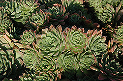 Carmen Hens And Chicks (Sempervivum 'Carmen') at Stauffers Of Kissel Hill