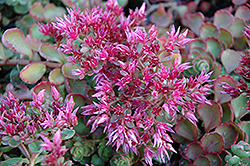 Fuldaglut Stonecrop (Sedum spurium 'Fuldaglut') at Stauffers Of Kissel Hill