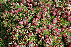 Red Beauty Hens And Chicks (Sempervivum 'Red Beauty') at Stauffers Of Kissel Hill