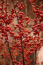 Berry Heavy® Winterberry (Ilex verticillata 'Spravy') at Stauffers Of Kissel Hill