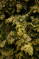 Golden Hinoki Falsecypress (Chamaecyparis obtusa 'Aurea') at Stauffers Of Kissel Hill
