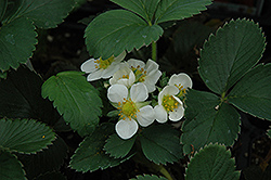 Honeoye Strawberry (Fragaria 'Honeoye') at Stauffers Of Kissel Hill