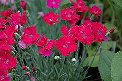 Neon Star Pinks (Dianthus 'Neon Star') at Stauffers Of Kissel Hill