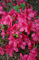 Mother's Day Azalea (Rhododendron 'Mother's Day') at Stauffers Of Kissel Hill