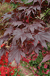 Bloodgood Japanese Maple (Acer palmatum 'Bloodgood') at Stauffers Of Kissel Hill