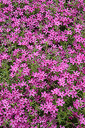 Crimson Beauty Moss Phlox (Phlox subulata 'Crimson Beauty') at Stauffers Of Kissel Hill