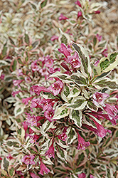 My Monet® Weigela (Weigela florida 'Verweig') at Stauffers Of Kissel Hill