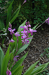 Lavender Japanese Hyacinth Orchid (Bletilla striata) at Stauffers Of Kissel Hill