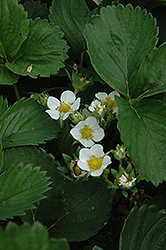 Earliglow Strawberry (Fragaria 'Earliglow') at Stauffers Of Kissel Hill