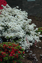 Delaware Valley White Azalea (Rhododendron 'Delaware Valley White') at Stauffers Of Kissel Hill