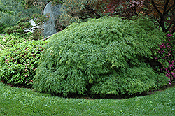 Cutleaf Japanese Maple (Acer palmatum 'Dissectum Viridis') at Stauffers Of Kissel Hill