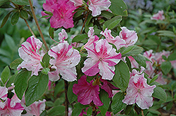 Encore® Autumn Twist™ Azalea (Rhododendron 'Conlep') at Stauffers Of Kissel Hill