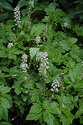 Crow Feather Foamflower (Tiarella 'Crow Feather') at Stauffers Of Kissel Hill