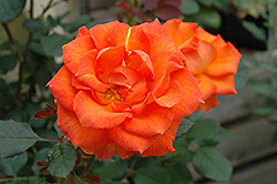 Gingersnap Rose (Rosa 'Gingersnap') at Stauffers Of Kissel Hill