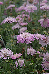 Pink Mist Pincushion Flower (Scabiosa 'Pink Mist') at Stauffers Of Kissel Hill