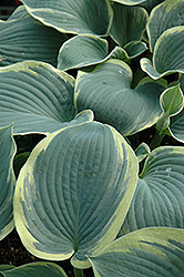 American Halo Hosta (Hosta 'American Halo') at Stauffers Of Kissel Hill